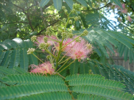 """These are called """"pink powder puffs"""", """"hermosa"""", and some people call them """"smoke trees."""" The hummers and butterflies go insane over these flowers."""