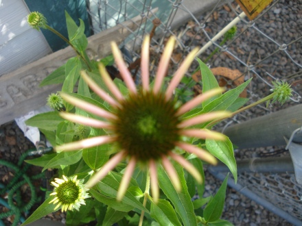 This echinacea is growing out of a pot hardly bigger than a cereal bowl.