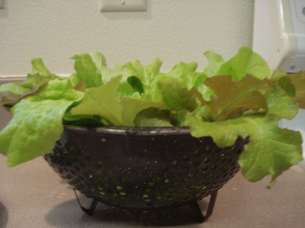 Here's a salad for dinner, picked out of a tub in my little green house.