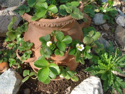 I took the old strawberry plants out of my terra cotta pots a couple of weeks ago, and replaced them with the babies that had spread at the base of the pots.  Now they're already producing flowers and tiny berries.