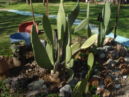 My tiny nopalitos have become a regular Nopal forest.
