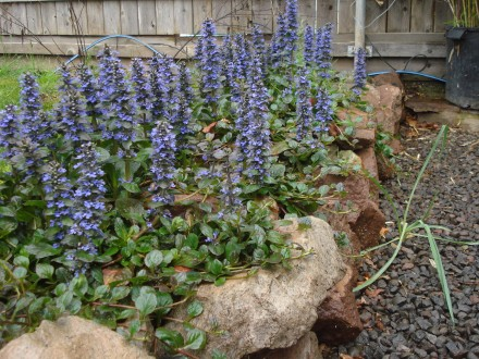 The time I put into this rock wall really paid off - Thanks Whipple for these groovy purple trailing flowers.