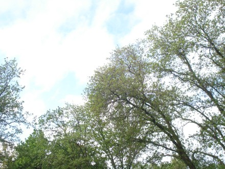 The oak trees seem to have greened overnight.