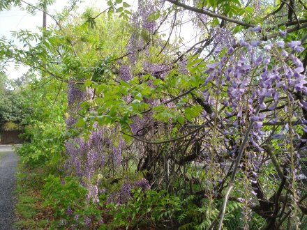 Yoo hoo neighbor! These gorgeous cascading wisteria greet us in the driveway.