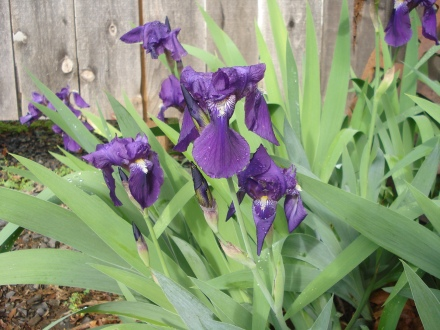 I had more irises than I ever remember this year, all over the yard.
