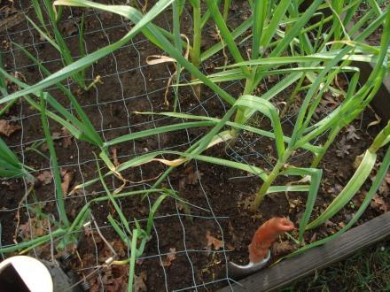 Of course, my bumper crop of garlic has attracted an interloper.