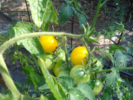 We got our wish - ripe tomatoes by June 1. These yellow cherries are sweet and meaty and great on a salad.