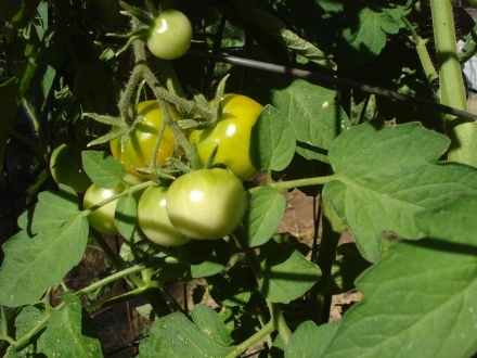 Here's some old standards - red cluster tomatoes. These make pots and pots of sauce.