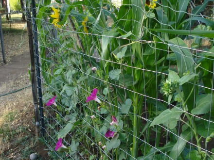 Who says plants aren't intelligent - these all seem to know which fence the sun is going to pop over.