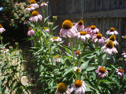 My husband planted storebought echinacea seeds in a big plastic pot a few years ago, and boy howdy, are they every happy.