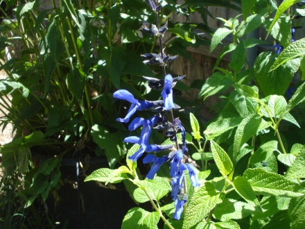 The blue sage finally flowered, Hummer was getting pretty peevish waiting for it. That is a shade of blue I don't see anywhere else in my garden.