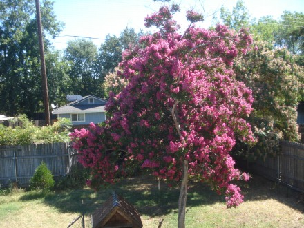 From my upstairs window this crepe myrtle looks like a pink island.