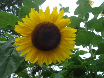 Now, this is a sunflower.