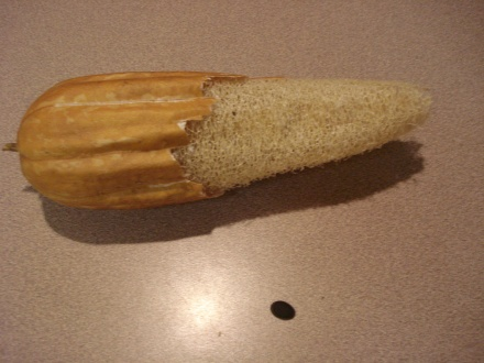 Here's that little loofa I pictured earlier this spring, all grown up, dried out, and ready to take a hot shower.