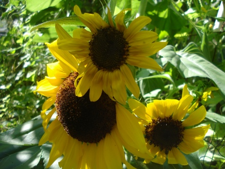 These are some of the only sunflower heads we have left after a particularly brutal raid from our squirrels.