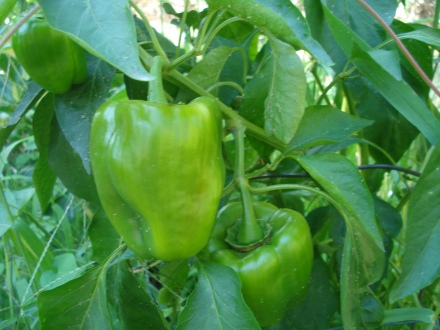 Add these to the salsa, or grill them with your meat.
