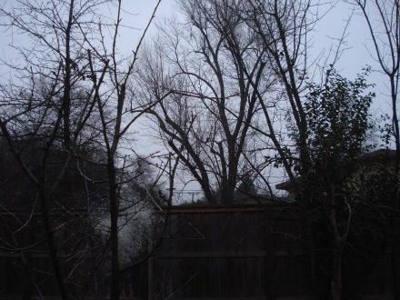There he is, almost dead center, sitting on a 'y' branch of my neighbor's ash tree. Shy fellow.