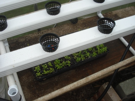 Here's the rain gutters my husband has converted into aeroponic growing trays.  There are the lettuce seedlings there in the flat below.