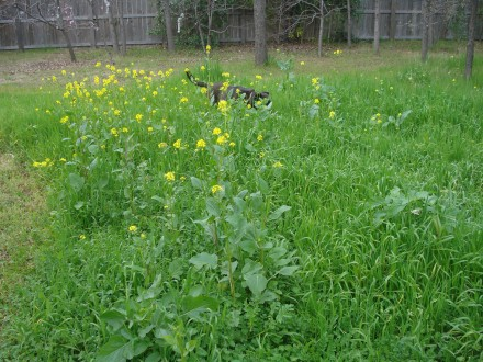 The grass is really high this year - my husband saves me this patch where we get a lot of mustard flowers. Mustard flowers and leaves are good to eat - but like my husband says, pick the high ones, higher than Badges can lift his leg.