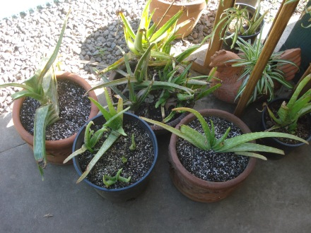 The aloe garden is coming along, still feeling the shock of transplanting.