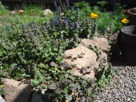 """A """"volunteer"""" poppy, shown here with some of this pretty blue ground cover plant Whipple gave me. I don't know what it's called, but it keeps the crab grass out, and it's amazingly drought resistant."""