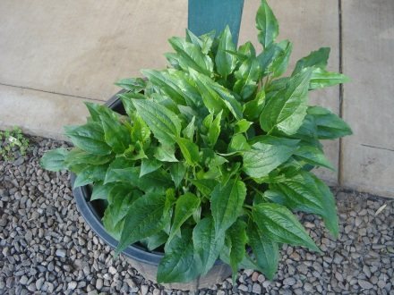 Echinacea do better in a pot - their roots are apparently delicious.