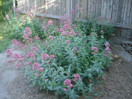 I planted these pink valerian along the fence and over the years they've moved up this crack in the patio slab.