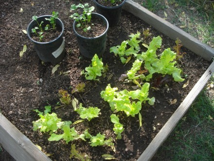 I pick lettuce from this bed almost every day, it's amazing how fast it grows. Next year I'll fill the whole bed, this was a half-assed project.