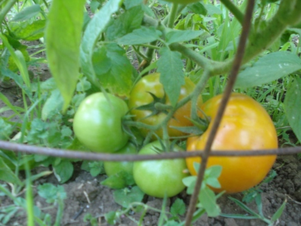 Our first ripe tomato - I think this baby will be done today or tomorrow. I bought a pack of bacon as soon as it started to orange up.