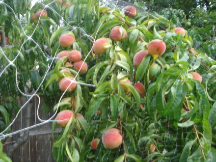 The netting has proven effective in keeping the blue jays from molesting the peaches, but it won't stop hail or high wind from ruining some of the fruit.
