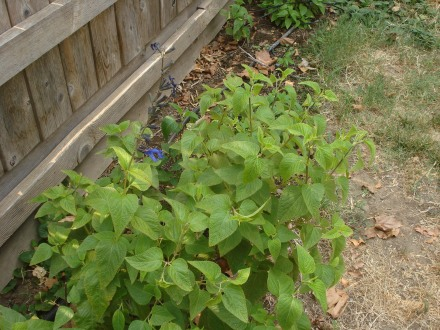 """This selvia or """"blue sage"""" has grown along this hot section of fence for a couple of years now, spreading a little more each spring. It's really tough, you can forget it until it looks like it's about to die, and then a little water will bring it right back."""