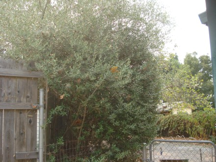 This enormous bush survives off nothing but Winter rain.