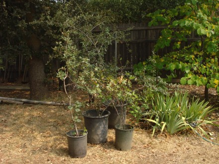 Look at this selection of trees - three red buds, a crepe myrtle, and several cork oaks grown from tiny acorns. Oh yeah, they're going to be mighty!