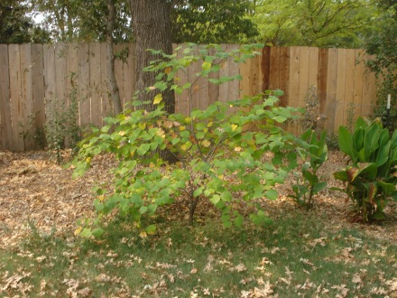 These red bud are also very drought tolerant, but they do need a squirt now and then.