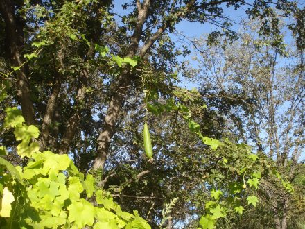 One day we noticed several big ones hanging way up in the oak tree next to the garden.