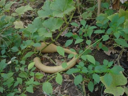 Here's a Zucchino gourd.