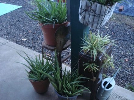 These are some of my beloved aloe vera pots. You'd think I'd given  birth to them the way I fuss over them.