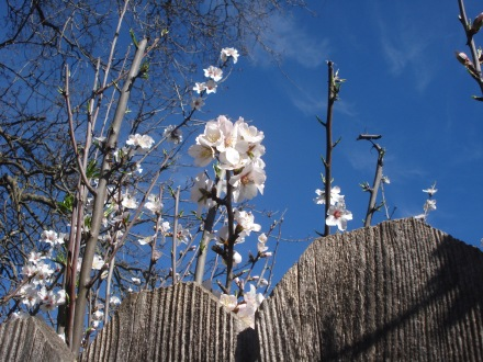 Almond blossoms peeking over my fence from a little tree planted years ago by some bird. I'm nuts about nuts, but the pollen is a nuisance.