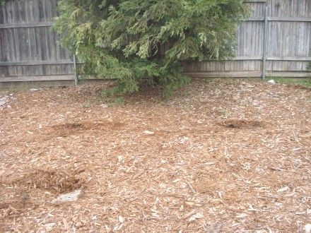 It took us almost $60 worth of chips to mulch in this redwood tree.