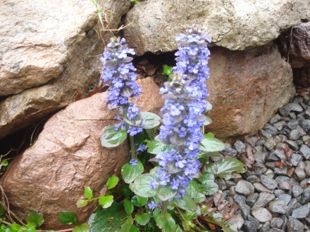 I think these are called lobdelia. They are a great weed block around rock walls and pathways, and some of the first flowers I get in my yard every year.
