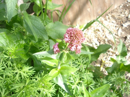 I was pulling some weeds along the fence and found some pink valerian heading up with tiny flowers.