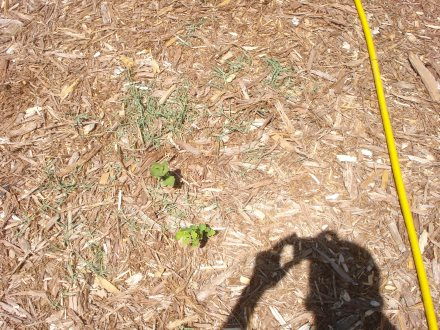 Crabgrass find it's way - through overlapping layers of heavy cardboard and six inches of shredded bark.