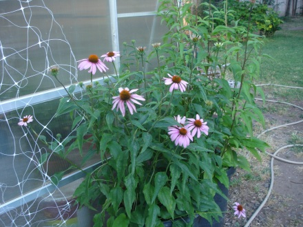 Another protected species - I have these echinacea in big pots, see how happy they are with a little drizzle of water twice a day.