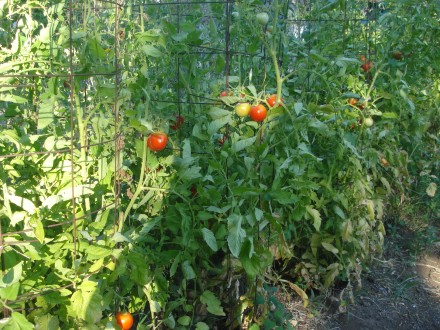 This wall of Early Girls started producing, well, early. We pick a box of ripe tomatoes about every other day.