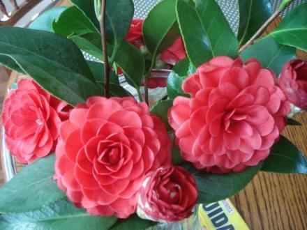 Camellia time.